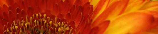 Peaceful image of a Gerbera